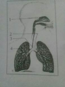 Perhatikan Gambar Organ Pernapasan Berikut Ini Pada Proses