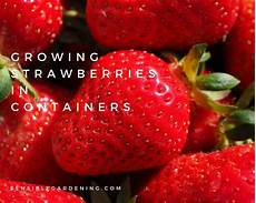Gardening Strawberries by Growing Strawberries In Containers Sensible Gardening