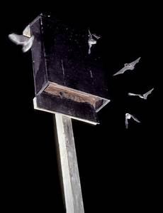 bat conservation international bat house plans little brown bats in flight around a diy bat house
