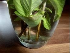 Kostenlos Und Einfach Pflanzen Aus Stecklingen Ziehen