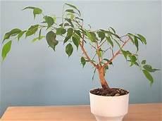 Growing Stuff How To Care For Ficus Benjamina