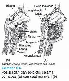 Dian Husada Quot Anatomi Sistem Pencernaan Quot Anatomi Mulut Dan