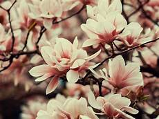 flower wallpaper for note 3 wallpaper 1600x1200 magnolia flowers branches