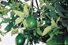 Fruits Des Antilles L Avocat