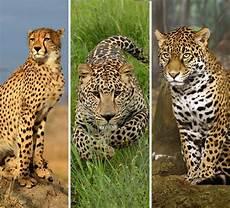 jaguar ou leopard l info du jour jaguar gu 233 pard ou l 233 opard on en parle