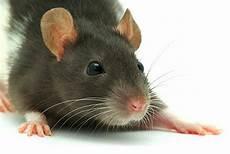 ratten bekaempfen und aus dem haus kleine ratten babys k 246 nnen ausziehen in 30629 hannover