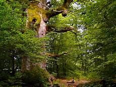 Malvorlagen Urwald Europa Datei Urwald Sababurg 4 05 06 08 Jpg