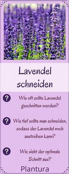 Lavendel Schneiden Wann Und Wie Zur 252 Ckschneiden