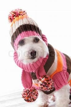 hund mit mütze warm wearing knitted beanie and jumper stock photo