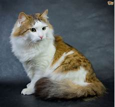 cat breed the 5 best cat breeds for an indoor only home pets4homes