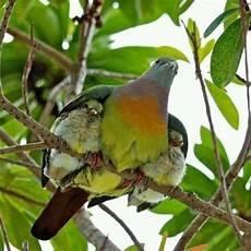 Melapon Burung Punai