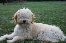 types of goldendoodle haircuts google search pretty types of goldendoodle haircuts google search goldendoodle haircuts goldendoodle dog care