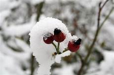 hagebutten im schnee sch 246 pfung