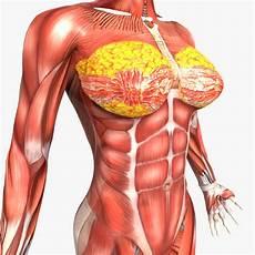 menschliche organe frau human and anatomy 3d model
