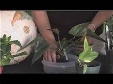 pflanze mit a flower gardening how to grow anthuriums