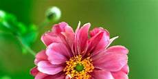 nomi fiori giapponesi anemoni giapponesi i fiori dell autunno cose di casa