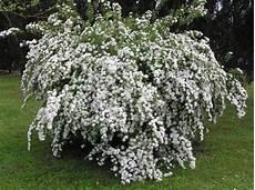 fiori profumati da giardino arbusti da giardino per tutte le stagioni idee green
