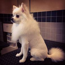 pomeranian lion cut dog grooming kleinspitz pinterest lion dog grooming and dogs