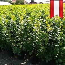 kirschlorbeer caucasica 125 im topf kaufen