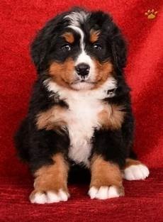 bernese mountain puppies sale downtown id 325