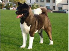 Akita Dogs in Ireland   View All Dogs   Pedigreedogs.ie