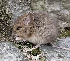 Was Essen Mäuse In Der Natur - gartenmaus foto bild tiere wildlife s 228 ugetiere
