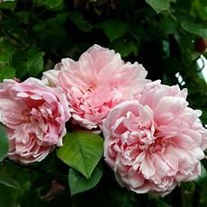 rosier ancien grimpant rosa albertine rosier grimpant ancien rosier liane