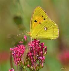 fiori di loto e farfalle laghetto di san carlo seregno farfalle e fiori di loto
