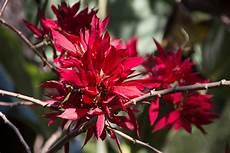 Malvorlage Exotische Blumen Kostenlose Foto Bl 252 Hen Blatt Blume Busch Rot