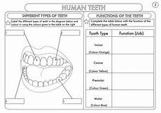 animal teeth worksheets 14367 year 4 science animals including humans digestion teeth and food chains worksheets by