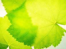 transparenz zimmerlinde pflanzen tipps