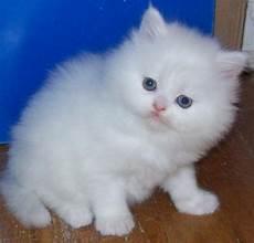 regalo gattini persiani regalo gattini persiani per l adozione ho 2 splendide