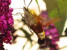 scarafaggio volante scarafaggio