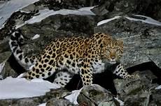 Berikut Gambar Macan Tutul Paling Baru