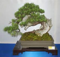 bonsai baum berlin bergkiefer bonsai granitplatte terrasse