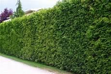 thuja brabant pflanzen kegel lebensbaum thuja occidentalis brabant g 252 nstig