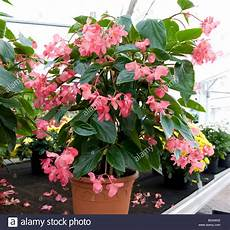 begonie in vaso begonia wing pot grown plant with small pink