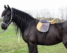 Malvorlage Pferd Mit Sattel Dressursattel Oxford 16 Zoll Leder Pferdesattel Pferd