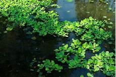 plante d eau laitue d eau planter et cultiver ooreka
