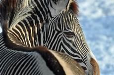 zebra bild zebra im schnee foto bild tiere zoo wildpark