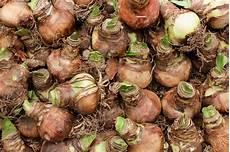 amaryllis zwiebeln lagern 187 so bewahren sie sie auf