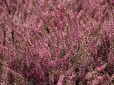 calluna vulgaris sorten besenheide sommerheide marlies calluna vulgaris