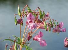 pflanzen niedrigere klassifizierungen dr 252 siges springkraut