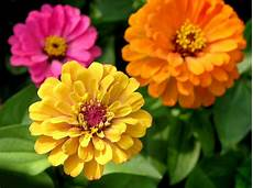 Popular Zinnia Varieties Different Types Of Zinnia