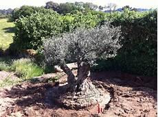 Livraison Et Plantation Avec Oliviers Breizh Sp 233 Cialiste