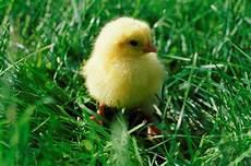 les parents de mes petits poussins un petit chroniques d une poule et poussin c est l histoire d