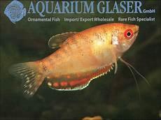 Gambar Ikan Sepat Rawa Siam Mutiara Biru Terbesar