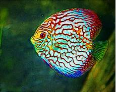 Discus Kenny S Discus Fish For Sale 2017 Fish Tank