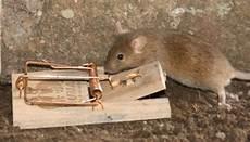 In Der Falle - maus falle foto bild anf 228 ngerecke nachgefragt