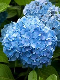 bauernhortensie endless summer blue